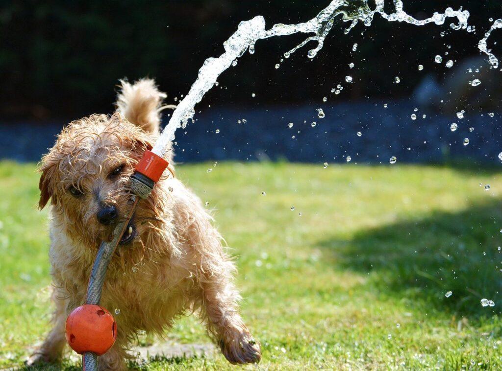 dog, garden, terrier-1310545.jpg